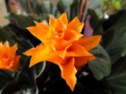 カラテアクロカータ 静岡 送料無料 花 花屋 プレゼント ギフト 観葉植物