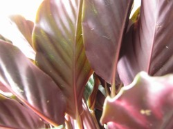 カラテア・クロカータ 静岡 花 花屋 送料無料 観葉植物 プレゼント ギフト